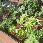 [Mmi] WOW, unser Hochbeet erzeugt scheinbar einen grünen Daumen!