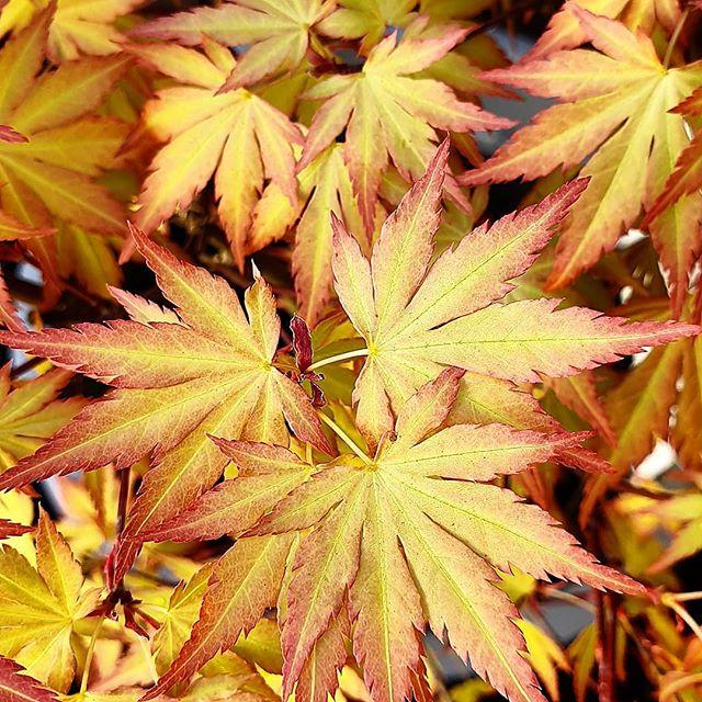 Sieht aus wie Herbst, oder?  Dabei ist es ein heimlicher Wunsch, den ich mir endlich erfüllt habe. Wenn schon eigener Garten,  dann soll da auch ein japanischer Ahorn stehen.  So einen wollte ich ja schon immer haben und er sieht so wunderschön aus.  Welche Pflanzen gehören für euch in den perfekten Garten?  #garten #pflanzen #blumen #blumenmarkt #ahorn #japanischerahorn #japan